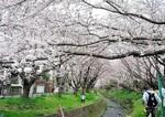 2016-4-1桜.JPG